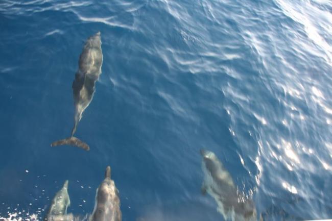 Дельфины Эгейского моря