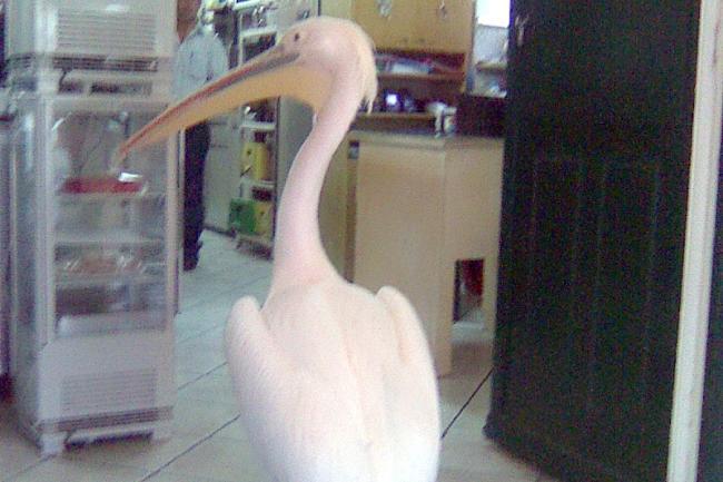 Rolig pelikan från Mykonos