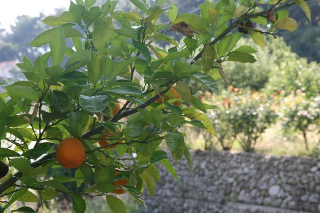 These are the oranges from Samos island!